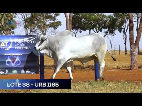LOTE 38 - URB1165 - NELORE