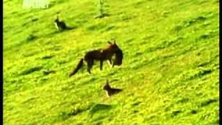 Лисица на охоте.wmv
