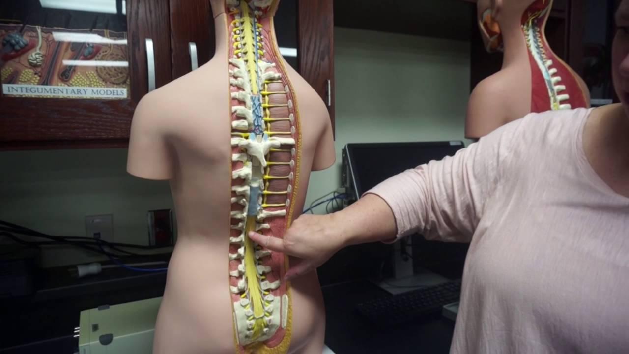 Spinal Cord, Cauda Equina, Conus medullaris. - YouTube