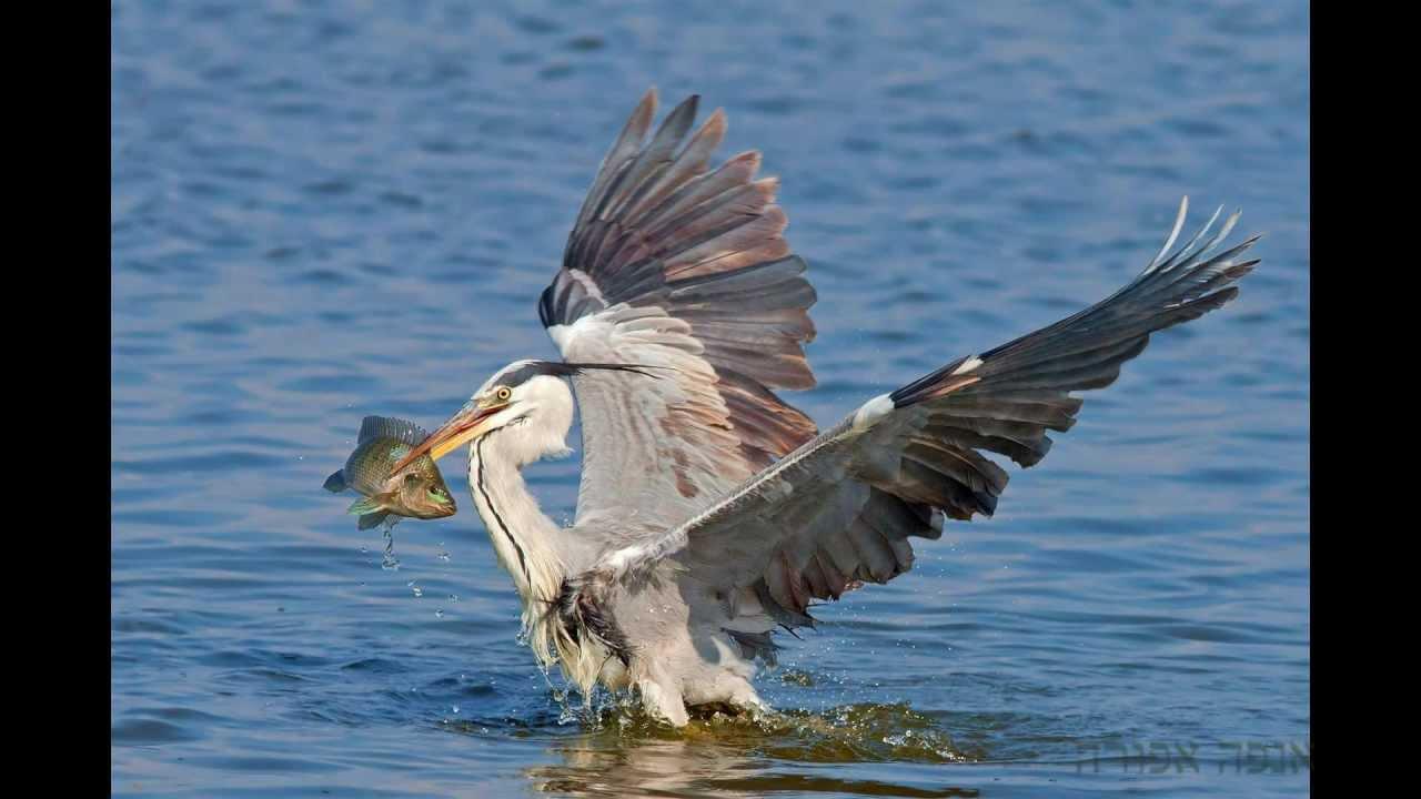 עופות מים בישראל