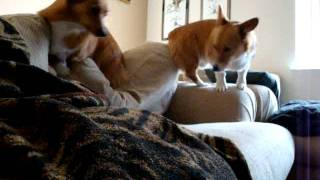 Pembroke Welsh Corgis -whoops There She Goes