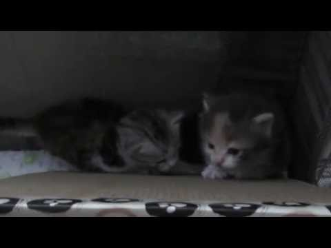 3 weeks old Siberian Kittens
