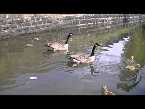 Wildlife On Stalybridge Canal