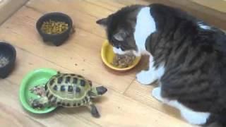 Черепаха гоняет котов
