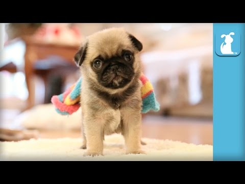 Pug Puppy Wearing Rainbow Sock! - Puppy Love