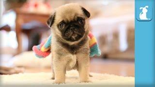 Pug Puppy Wearing Rainbow Sock! - Puppy Love