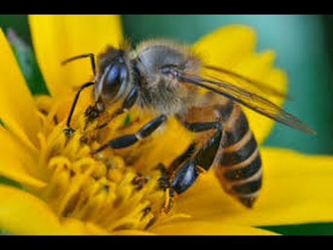 All About Honey Bee § Nature Documentary Bees