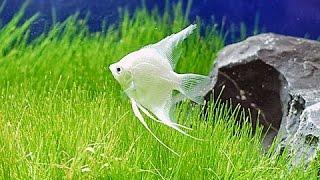vuclip Pterophyllum scalare -  Manfish - Angel Fish