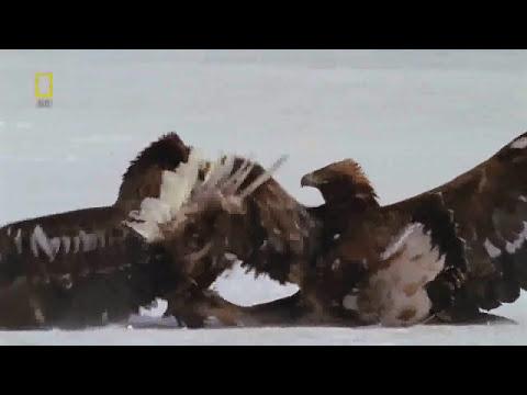 steller's eagle VS golden eagle