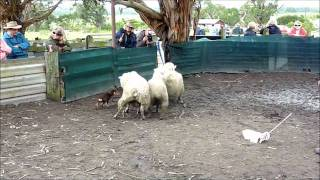 Australian Kelpie Pup Training
