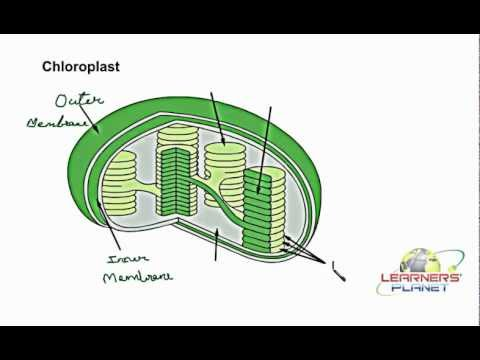 Chloroplast Diagram With Labels Solar Power How It Works Labelling Youtube