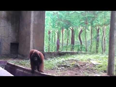 Orangutan has fun of humans. You must watch it!