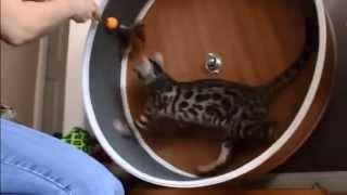 Порода бенгальская кошка