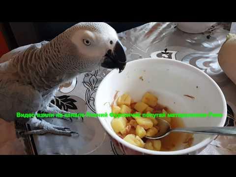 Наблатыканный попугай матершинник Рико попугай ест суп картошку говорящий попугай Жако