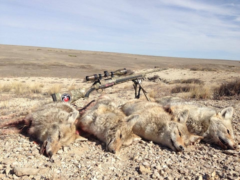 My Coyote Calling Strategy! Calling Coyotes In All Seasons!