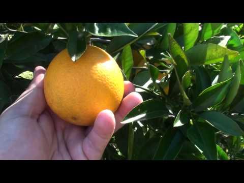 Mandarin & Orange Growing Backyard Walk Through