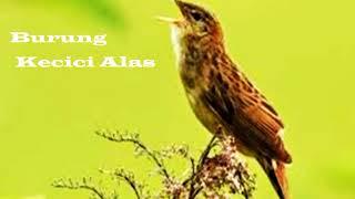 """""""Kecici Belalang""""  -Suara Burung Kecici Belalang  Suara Durasi Panjang"""