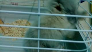 Hollanda lop tavşanına nasıl bakılır?