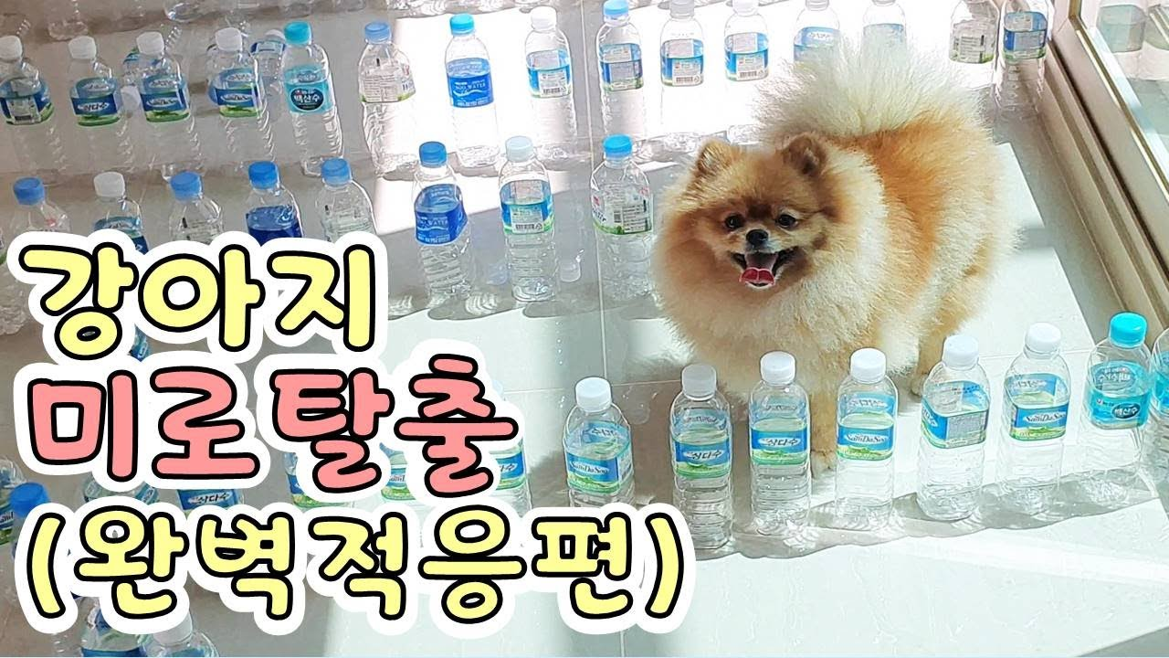[ENG SUB] 이제 미로탈출은 식은 죽 먹기쥐~ The second challenge of a puppy accustomed to maze escape. l 또리티비