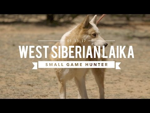 WEST SIBERIAN LAIKA: ULTIMATE SMALL GAME HUNTER