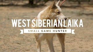 WEST SIBERIAN LAIKA: ULTIMATE SMALL GAME HUNTER