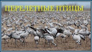 """Перелетные птицы. Заповедник  """"Агмон а Хула"""", Израиль"""