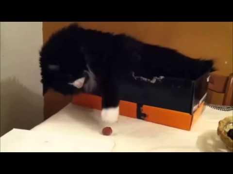 Raccoon Steals Cat Food Vine Smooth Criminal
