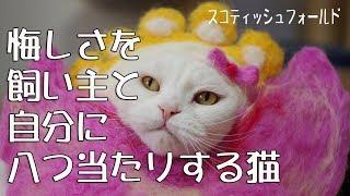 悔しくて飼い主と自分の顔に八つ当たりするクセの強い猫【funnycat】