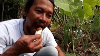 ออดิบผักปลูกไว้ทานเองปลอดภัยชื่อตูน,ทูน,คูน,ทางโชน,ออดิบคือผักต้นดียวกันแต่มีชื่อตามภาคและท้องถิ่น