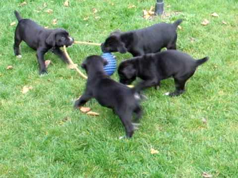Cuccioli Di Cane Corso 41 Gg Youtube