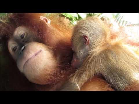 Mother orangutan with newborn infant