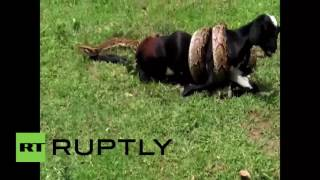 India: Huge python tries to swallow goat whole
