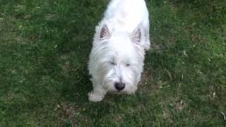 Eddy The Westie Plays A Game