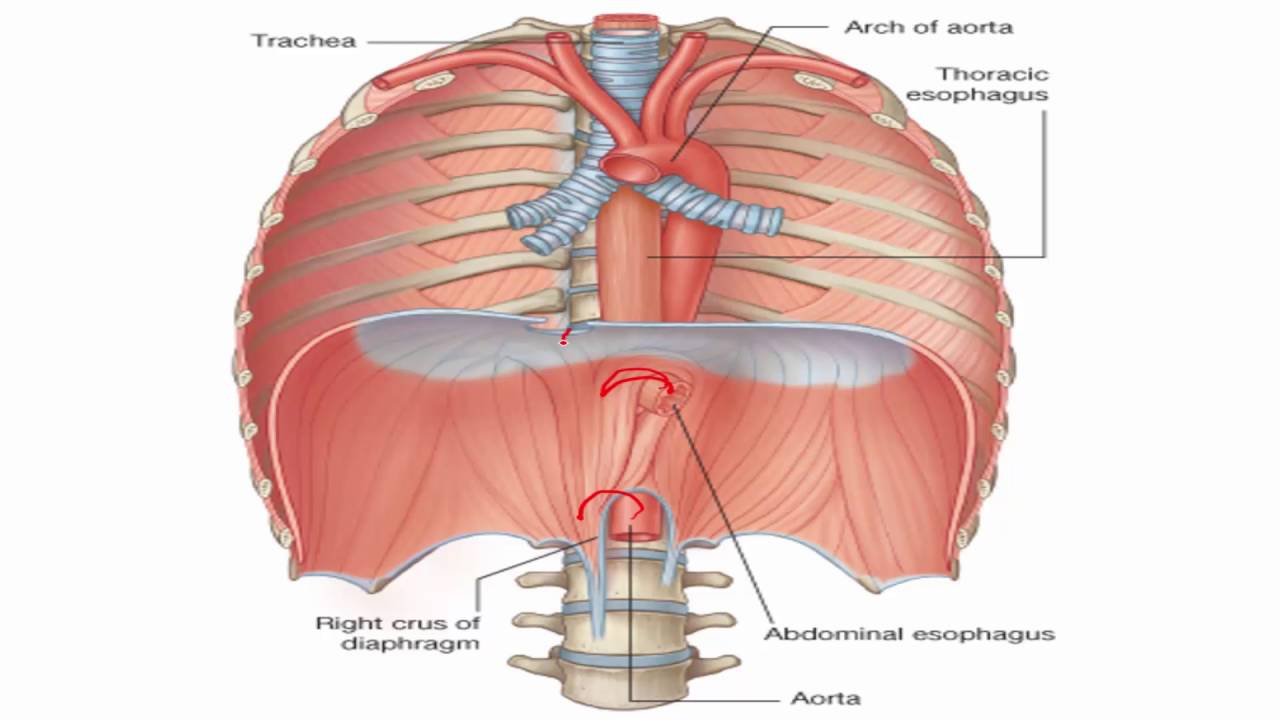 Anatomy 1 C2 L15 Diaphragm Youtube
