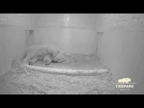 Eisbärbaby nachts an der Milchtheke - Polar bear cub having a drink during the night