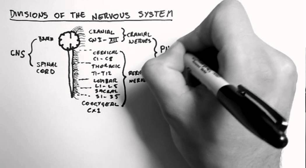 Divisions of the Nervous System - YouTube