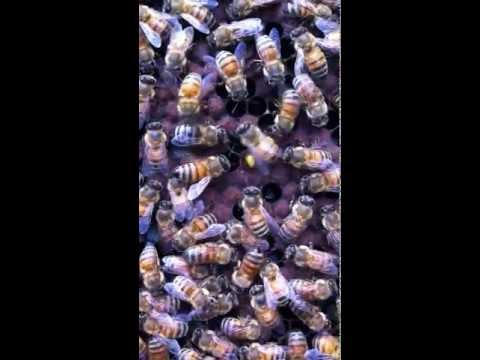 Apis Mellifera Waggle Dance By Glen Bee Farm