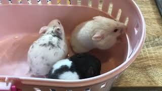 現在お店には、生後約5ヶ月のキンクマが3匹、生後約1ヶ月半のダルメ...