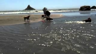 Golden Retrievers Playing At Lone Ranch Beach In Brookings, Oregon