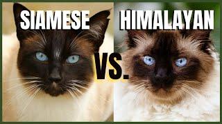 Siamese Cat VS. Himalayan Cat
