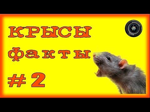 Крысы  Факты #2
