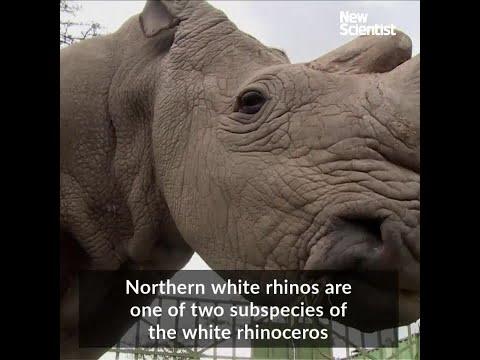 Northern white rhinos aren't doomed yet