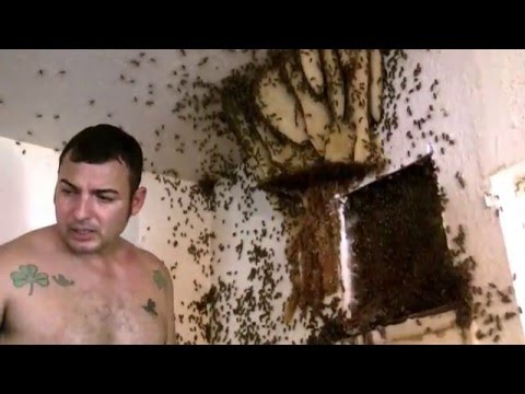 Bee Hive removal- Exposed Hive indoors in Mcallen, TX by Luis Slayton of Bee Strong Honey  part 4