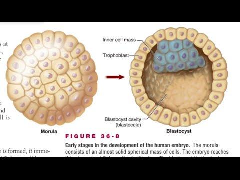 Blastocyst Formation In Hindi