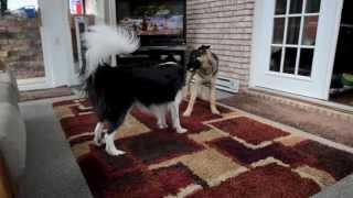 Border Collie Vs German Shepherd (playing)
