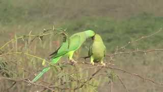 Rose ringed Parakeet displaying/pre mating behavior
