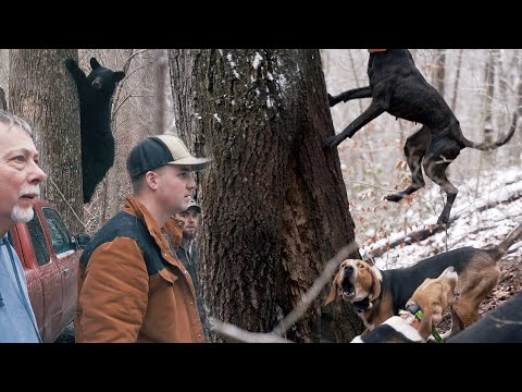 CATCH AND RELEASE HUNTING??? – Bear Hunting with Hounds