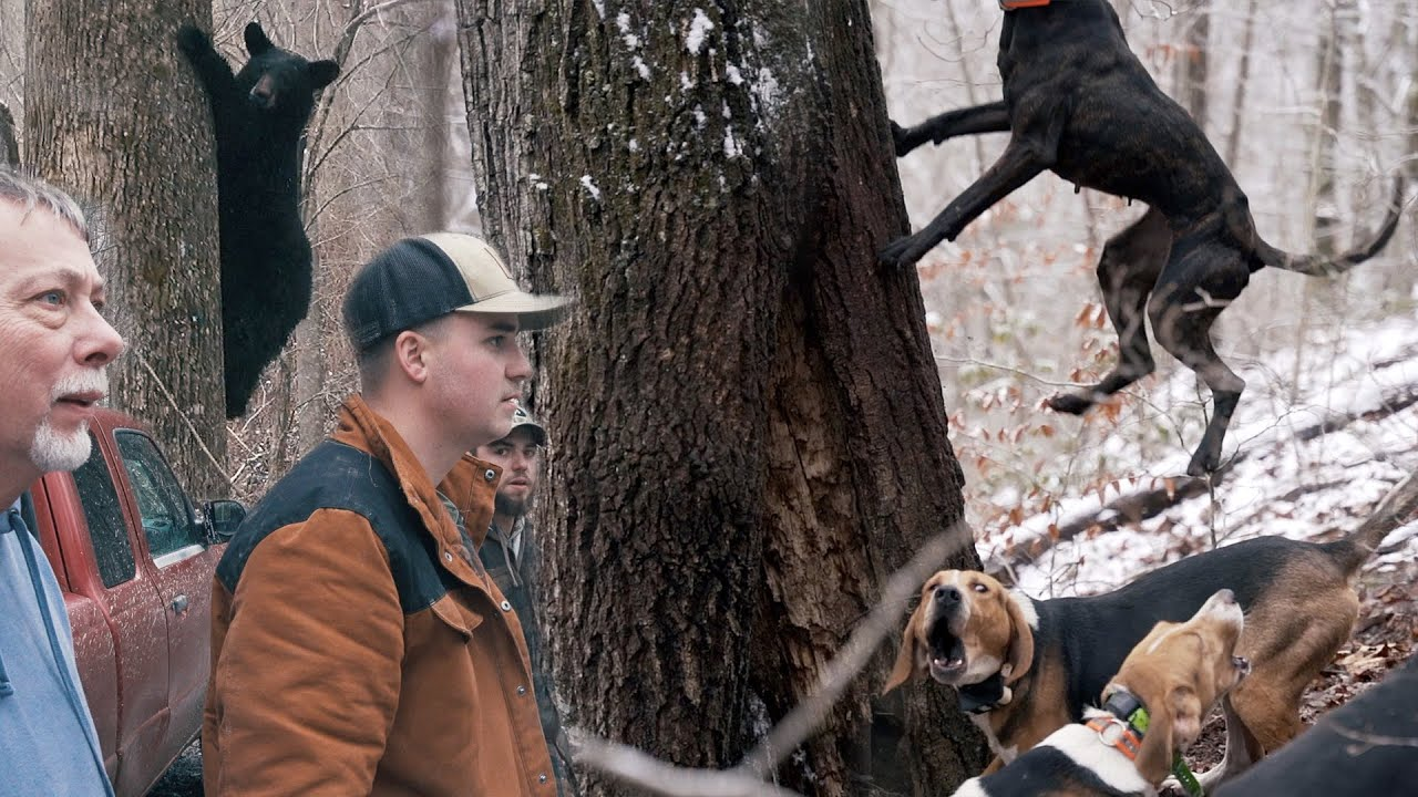 CATCH AND RELEASE HUNTING??? - Bear Hunting with Hounds