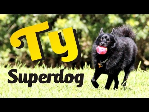Ty, The World's Smartest Schipperke - Ty, o schipperke mais inteligente do mundo