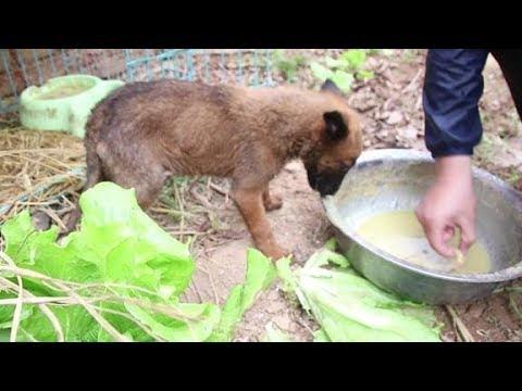 小馬犬回家兩天不吃狗糧,小趙特制雞肉送上,小馬犬胃口大開! - YouTube
